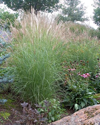 Accent plants for Maiden fountain grass
